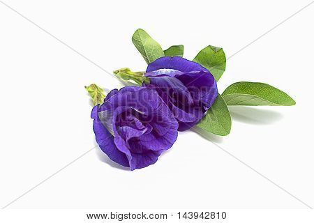 Butterfly Pea flowers on white background selective focus popular Clitoria ternatea