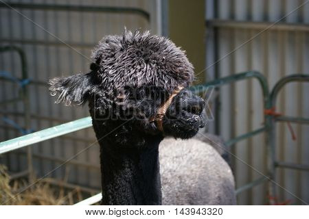 inquisitive black brown Alpaca at the show