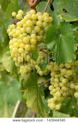 Bunches of grapes in a vineyard in the Brescia before the harvest