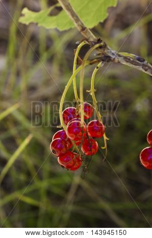 cluster of red currant berries on shrub