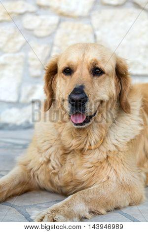 portrait of beautiful golden retriever in stone floor