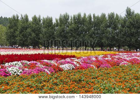 FURANO HOKKAIDO JAPAN - JULY 30 2015: Colorful flower fields with pine tree and tourists in the background at Tomita farm famous tourist attraction of Furano Hokkaido.