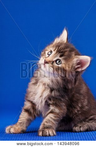 Cautious little fluffy kitten over blue background