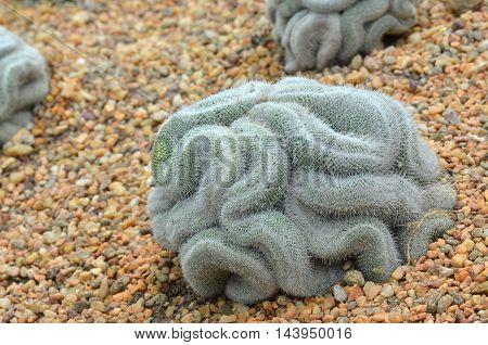 Green Cactus That Looks Like The Brain