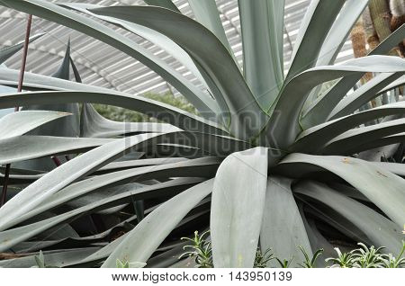 Huge Agave Plants In Flower Dome At Gardens By The Bay, Singapore