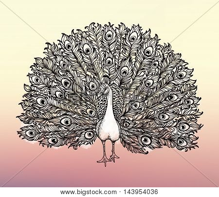 Beautiful Handdrawn Peacock bird consist many details. Clip-art illustration.