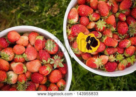 Two white buckets full of organic strawberries with bright yellow flower on green grass background. Garden harvest. Berries for healthy snack and dessert.