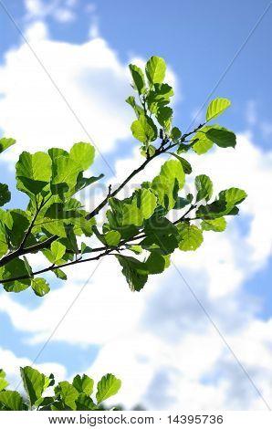 Branch Of Aspen