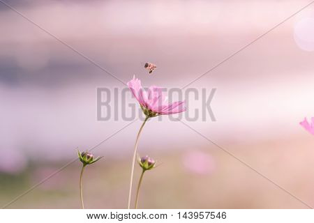 Cosmos flower. beautiful cosmos flowers with color filters