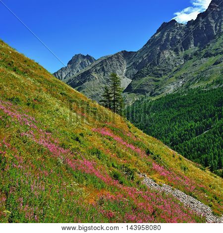 Alpien mountains in Gran Paradiso National Park with violet flowers