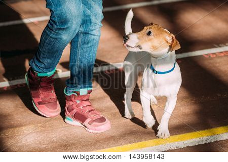 Very Funny Young Jack Russell Terrier Dog Run Near At Feet Of Man. Small Terrier