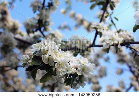 beautiful white blossoms of apricot on background of blue sky
