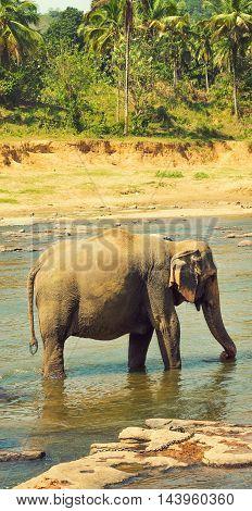 Elephant In River Sri Lanka