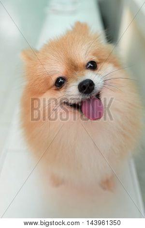 Dog pomeranian spitz smiling on  home background