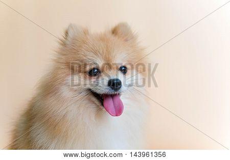 Dog pomeranian spitz smiling on Orange background