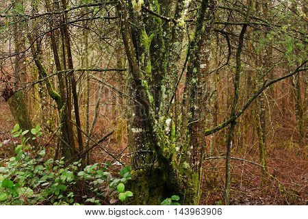 a picture of an exterior Pacific Northwest mossy Alder trees in winter