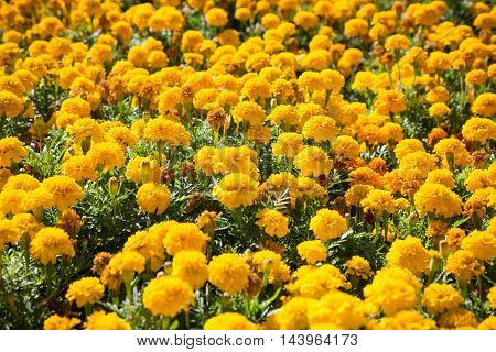 Yellow French marigolds on the bed, floral natural background
