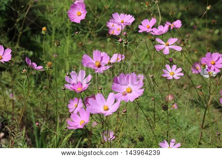Cosmea is most popular flower in the garden