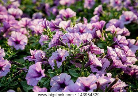 Flower natural background with blossoming pink petunias, closeup