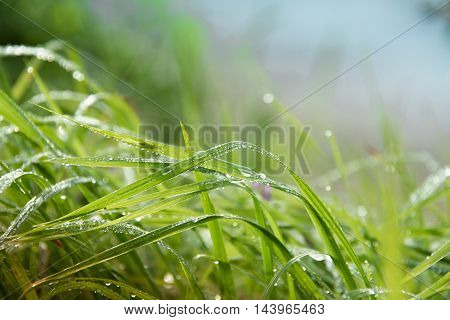 drops of dew on a green grass . .