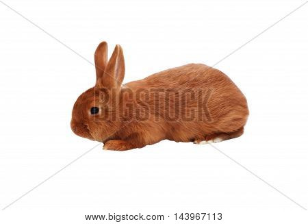 New Zealand purebred red baby rabbits on white background