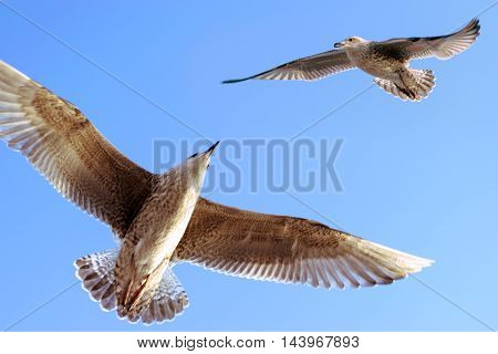 Seagull against sky. Flying birds. European herring gull. Larus argentatus