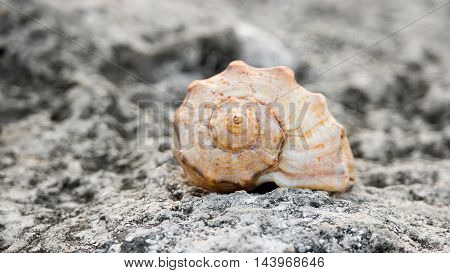 Front view of spiral seashell on rock surface