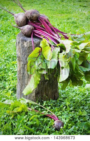 Fresh beet on a wooden stump the grass in the garden