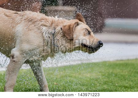 Labrador retriever on grass playing fetch shaking water off water after having left the pool. Shot with fast shutter speed droplets of water are visible suspended in air.