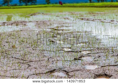 Need Water Now Cracked Ground And Green Rice Field