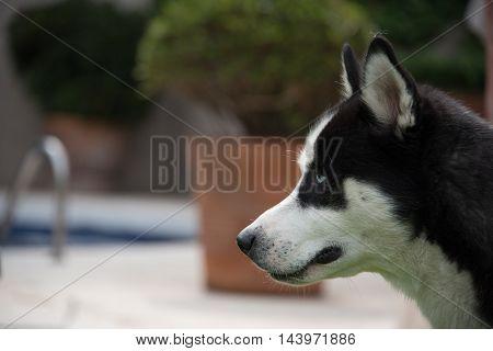 Siberian husky profile black and white, selective focus