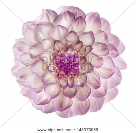 light purple dahlia with dew drops on a white background
