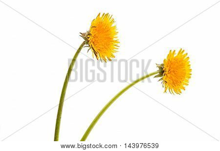 dandelion yellow  flower on a white background