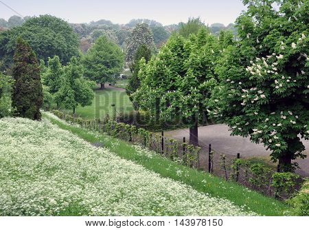 Spring park with blooming chestnut trees and flowers goutweed in the foreground.