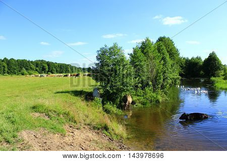 cow goes in the river near the pasture