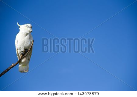 beautiful white cockatoo perched on wood branch with clear blue sky in background lovely wildlife animal in Australia