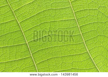 The teak leaf texture background in the forest