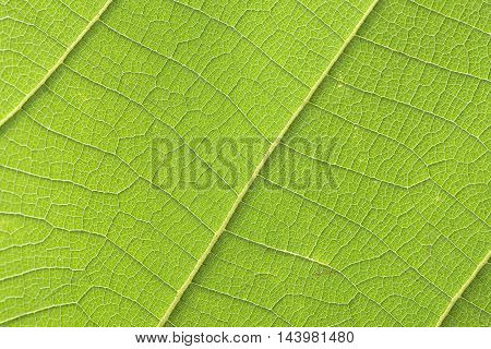The teak leaf texture background with the lighting effect