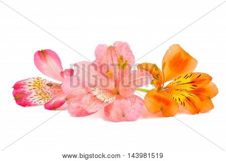 Alstroemeria colorful flower on a white background