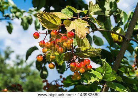 Viburnum berries growing on a tree close up