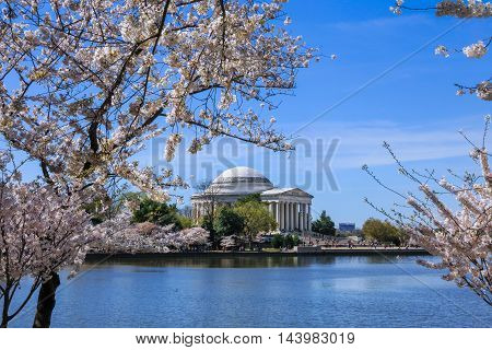 The Jefferson Memorial And Cherry Trees In Full Bloom on a Sunny Spring Day in Washington DC USA