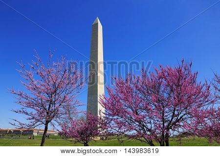 The Washington Monument And Trees In Full Bloom on a Sunny Spring Day in Washington DC USA