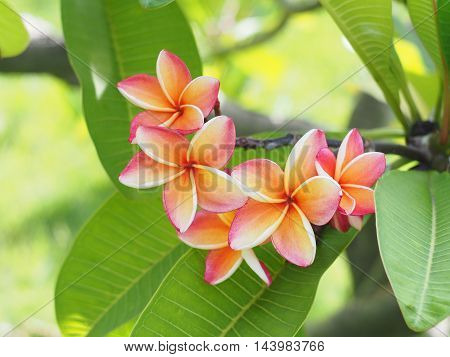 Pink Plumeria or Frangipani flowers with green leaves