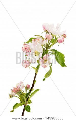 apple flowers  blooming, bud on a white background