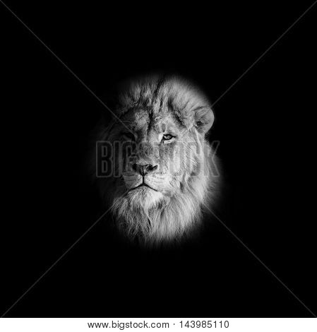 Closeup monochrome portrait of a male Lion on a black background