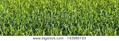 Grass Meadow Panorma as Background. Outdoor shot.