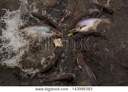 Image of feeding many of Striped catfish (Pangasius) fish in pond.,
