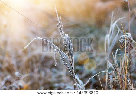 Frost on autumn dry grass early in the morning in a forest glade
