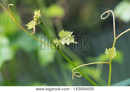 growing young tender shoots and leaves of vine in spring