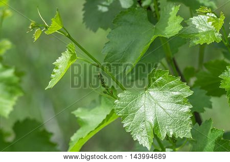 Young grape leaf closeup, macro, natural background